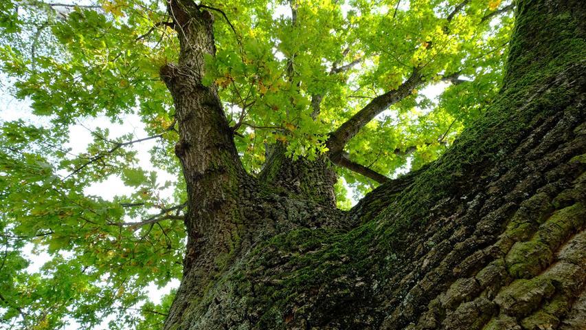 Ein Blick nach oben lohnt sich immer: Zahlreiche alte Bäume finden sich hier — in den Höhlen leben Vögel, Käfer und Fledermäuse.