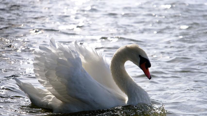 Ein Paradies für Wasservögel: Zahlreiche Schwäne, Wildgänse und Enten sind hier anzutreffen.