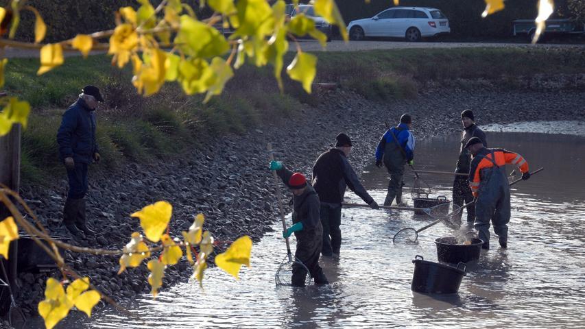 Rund 16 Zentner Karpfen fischten die Helfer aus dem Dorfweiher.