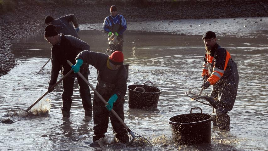 Die Karpfen kamen in Netze in einem Nachbarteich und wurden dann von einem Händler abgeholt.