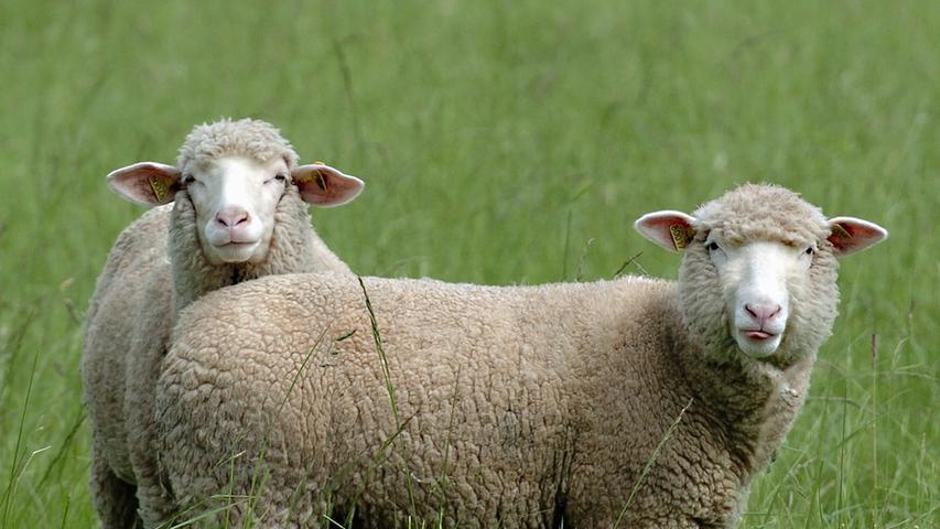 Naturpark Frankenhöhe: Im Zeichen des Schafes