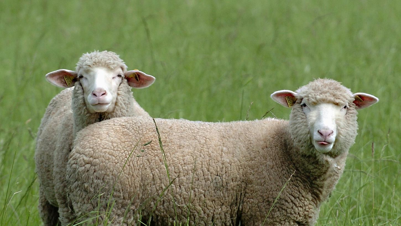 Schafe fühlen sich im Naturpark Frankenhöhe wohl.