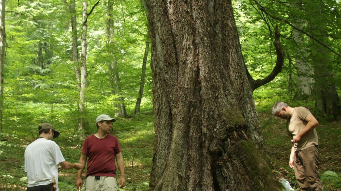 Was aussieht wie die ältesten Bereiche des Steigerwalds, ist tatsächlich im Iran. Dort haben sich riesige Buchenwälder im Urzustand erhalten.