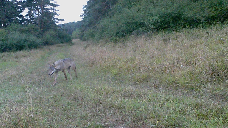 Eine Wildtierkamera hat diesen Wolf am 5. September auf dem Truppenübungsplatz Grafenwöhr aufgenommen. Das Areal bietet den Raubtieren optimale Lebensbedingungen.
