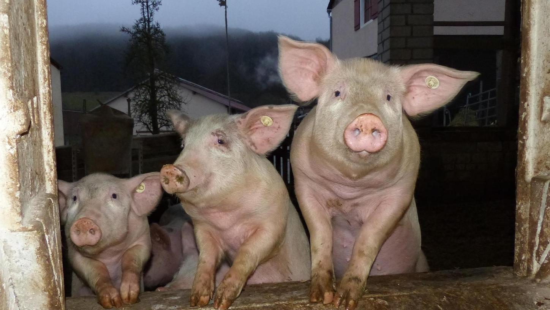 Nicht nur die Schweine fühlen sich auf dem Berghof in Oberweiler, der zwischen Meinheim und Wolfsbronn liegt, sichtlich wohl. Seit kurzem gibt es auch einen Hofladen.