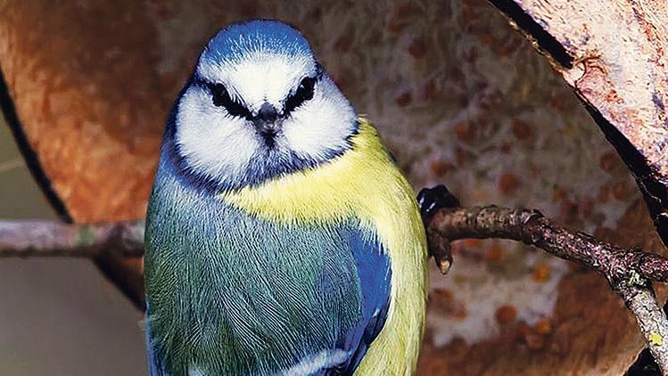 Die Blaumeise ist von der neuartigen Vogelkrankheit, die häufig zum Tod der Tiere führt, besonders betroffen.
