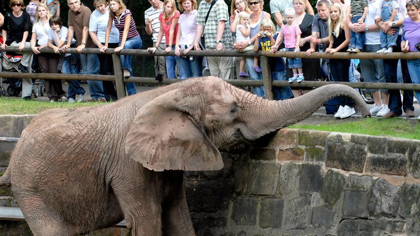 ... mussten sich der Tiergarten von Elefantenkuh Yvonne verabschieden. Knapp ein Jahr nach Kiris Tod ging es für sie in den Rostocker Zoo, um nicht mehr alleine im Gehege zu stehen - und bessere Bedingungen für ihr verkürztes Bein vorzufinden. Die Afrikanische Elefanenkuh lebte seit 1969 im Tiergarten. Obwohl der Tiergarten als der zweitgrößte Landschaftszoo Deutschlands gilt, bekamen die Besucher hier seitdem keine Elefanten mehr zu sehen. Eine moderne Anlage wäre einfach zu teuer. Zumindest im Moment. Yvonne starb am 23. April 2009 in Rostock.