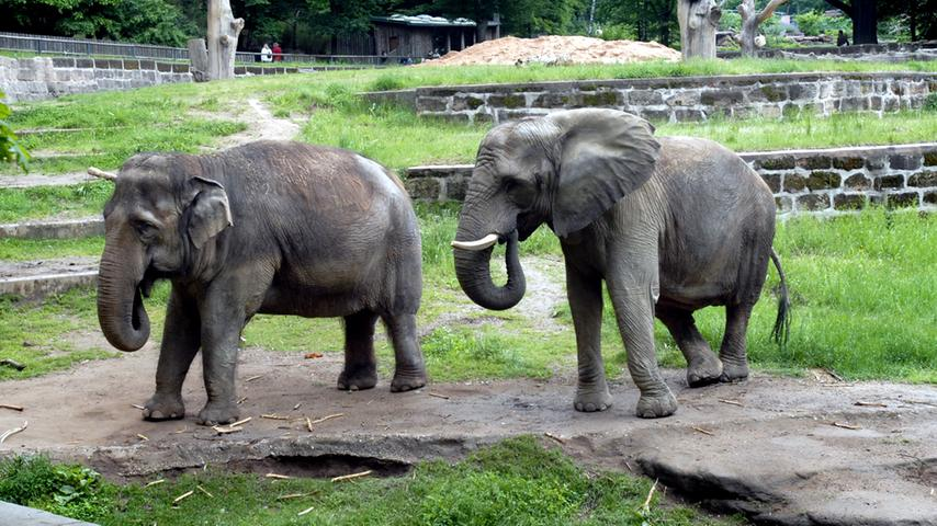 Nürnbergs letzte Elefanten: Kiri (l.) und Yvonne. Vor zehn Jahren nahm der Tiergarten Abschied von der asiatischen Elefantenkuh. Am 6. August 2007 knickte sie mit den Hinterbeinen um, nur noch Mitbewohnerin Yvonne konnte ihr auf die Beine helfen. Schon seit Jahren hatte Kiri Probleme mit Arthrose aufgrund ihres Alters. Die Feuerwehr rückte mit Spezialgerät an, um die Elefantenkuh aufzurichten - vergebens. Ihr fehlte einfach die Kraft, sich auf ihren Hinterbeinen aufzurichten. Am 7. August entschlossen sich Pfleger, Tierärzte und Zoologen dazu, Kiri weiteres Leid zu ersparen. Sie wurde im Alter von 45 Jahren eingeschläfert. Kurze Zeit später...
