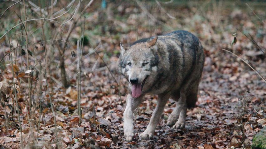 Um 1850 war der Wolf in Deutschland ausgestorben. Im Jahr 1990 wurden Wölfe bundesweit unter gesetzlichen Schutz gestellt.In Deutschland leben seit 1996 wieder Wölfe, im Jahr 2000 wurden die ersten Wolfwelpen wieder in freier Wildbahn geboren.Seitdem erobern sich die Wölfe ihren alten Lebensraum zurück.Die Rückkehr des Wolfs nach Deutschland ist aus Naturschutzsicht einer der größten Erfolge. Laut dem Bayerischen Landesamt für Umwelt (LfU) wurden im Monitoringjahr 2019/20 128 Rudel, 35 Paare und 10 territoriale Einzeltiere in Deutschland nachgewiesen.