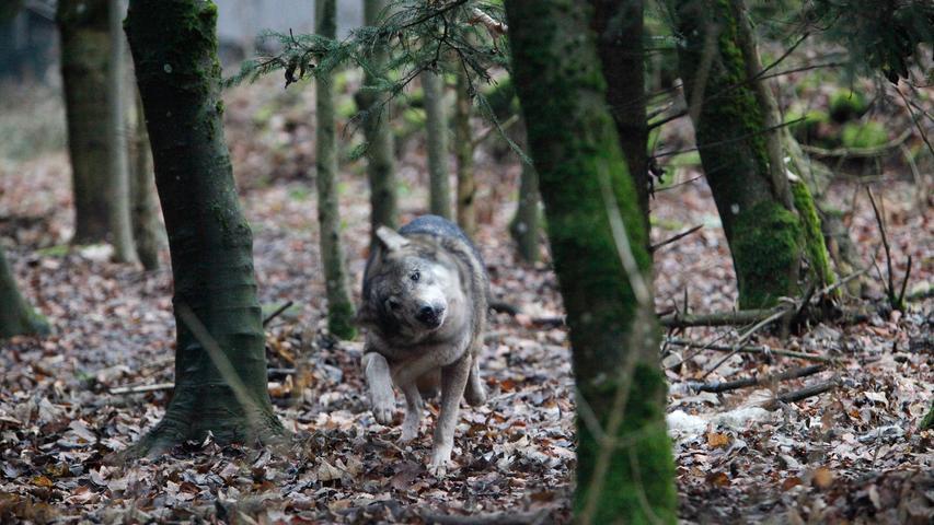 Der Wolf hat ein sehr breites Nahrungsspektrum: Es reicht von Ratten und Mäusen bis zu Rehen, Rotwild, Wildschweinen, selten auch Füchse oder Hasen. Sollte nicht genug wildlebende Beute als Nahrung vorhanden sein, können auch ungeschützte Nutztiere zur Beute werden. Aus diesem Grund sind in Wolfsregionen Schutzmaßnahmen wie Zäune und Hütetiere geboten.