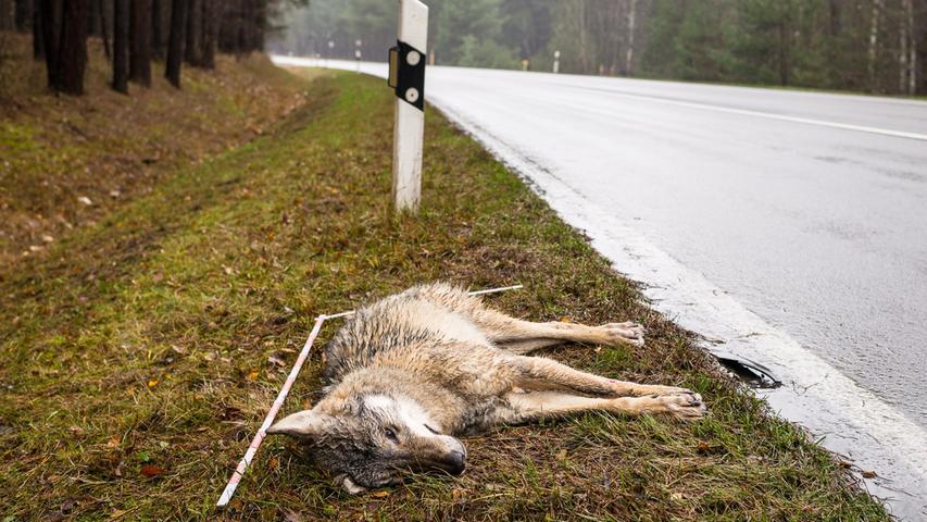 Der Wolf ist im Bundesnaturschutzgesetz streng geschützt und es ist grundsätzlich verboten, ihn zu töten. Trotzdemsterben jedes Jahr etliche Wölfe eines unnatürlichen Todes. Wie der deutsche Naturschutzbund (Nabu) mitteilte, wurden im Jahr 2020 in Deutschland 77 Wölfe im Straßenverkehr und 6 illegal getötet. Es gibt Ausnahmen, in welchen Wölfe getötet werden dürfen. Ein 2020verabschiedetes Gesetz erlaubt, Wölfe zu jagen, wenn sie im Verdacht stehen, Schafe oder andere Nutztiere gerissen zu haben.