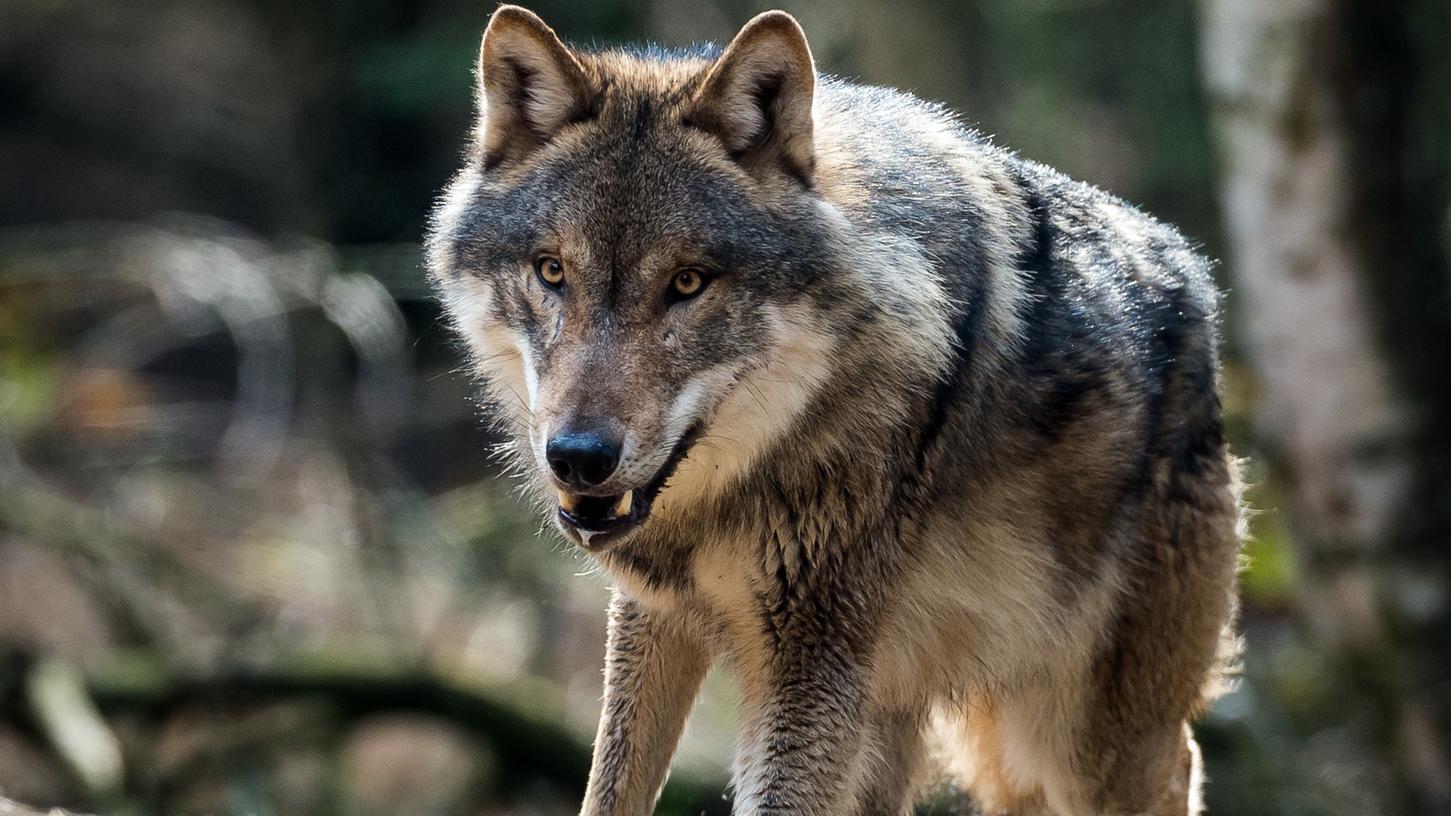 Nahe Waischenfeld sollen Wölfe gesichtet worden sein. Das Exemplar auf dem Bild lebt in einem Wofsgehege in Brandenburg.