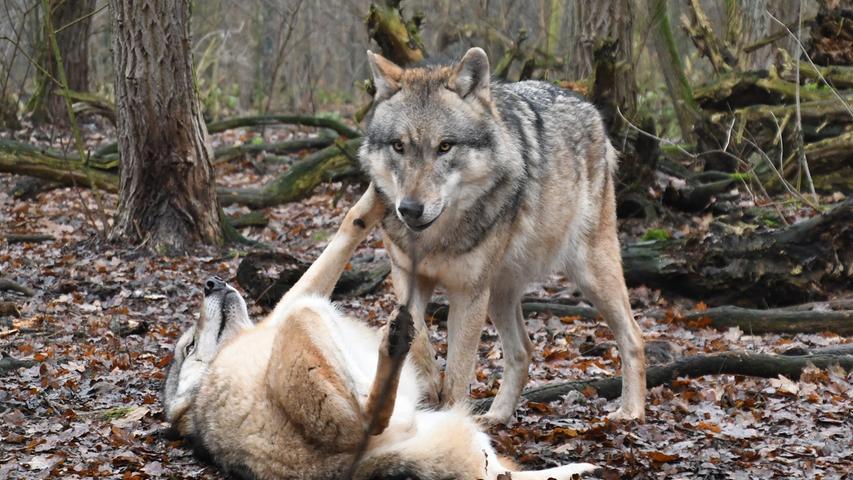 Falls man beim Gassigehen einen Wolf sieht: Auf jeden Fall den Hund anleinen und nahe bei sich behalten. Er kann vom Wolf als Konkurrent oder als Paarungspartner betrachtet werden.