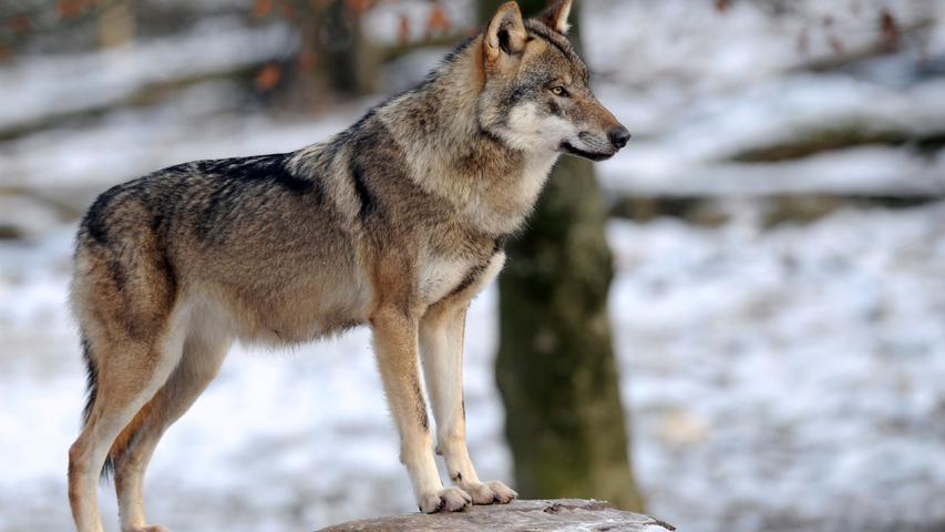 Lebensraum, Beute, Gesetze: Das sollten Sie über Wölfe wissen