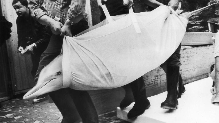 Mit Hebebühne, Schaumstoffmatten, Tragedecken und Geduld sind im Oktober 1980 die ersten drei Delphine in ihr Ausweichquartier im Betriebshof des Tiergartens gebracht worden. Dort blieben sie, bis das Delphinarium von Grund auf renoviert war. Tiergartendirektor Manfred Kraus war bei der Aktion mindestens so aufgeregt wie seine Schützlinge.