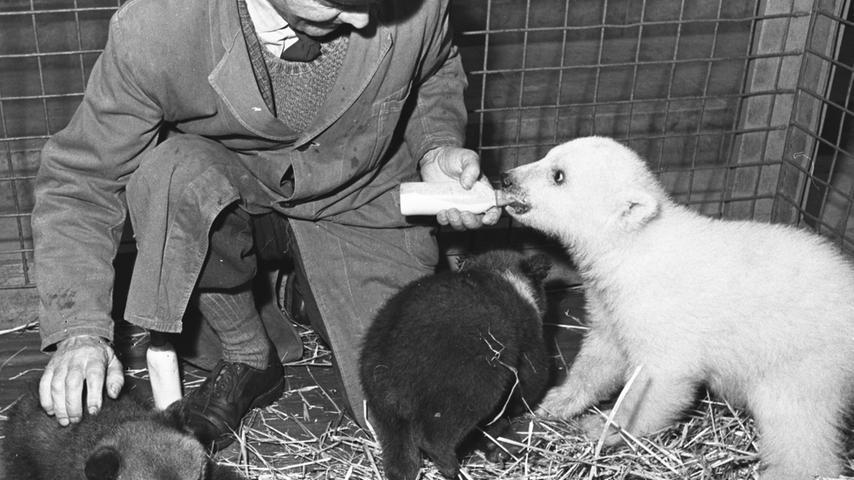 In den sechziger Jahren kamen erstmals zwei kleine Braunbären mit dem Jung-Eisbären