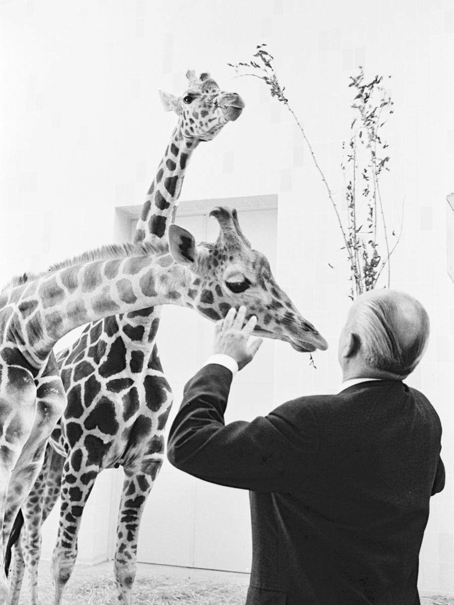 Das erste Paar Giraffen konnte noch vor Kriegsausbruch einziehen - im Juli 1914 bereicherten sie die Artenvielfalt des Tiergartens, der bis dahin fast 1500 Tiere umfasste. Auf dem Foto begrüßt Bürgermeister Franz Haas zwei Netzgiraffen, die in den 60er Jahren angeschafft wurden.