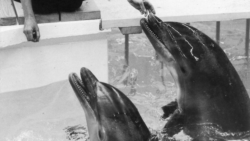 Die Delfinhaltung ist immer wieder Gegenstand heftiger Kritik. 1971 bezogen die ersten Bewohner das neu gebaute Delfinarium. Der Bau dauerte damals rund eineinhalb Jahre und kostete drei Millionen Mark. Im August 1971 trafen um 3 Uhr morgens die ersten fünf Bewohner des neu erbauten Delfinariums ein. Nürnberg war damit die dritte deutsche Stadt (nach Duisburg und Hamburg) mit diesen Meeressäugern im Zoo. Ein achteckiges Vorführbecken hielt im Zuschauerhaus für die Neuankömmlinge rund 1000 Kubikmeter Wasser bereit, das eine Seewasseraufbereitungsanlage mit fast 600 Zentnern Salz in einen Mini-Ozean verwandelte. Ruhebecken und Futterraum schlossen sich an. Nach damaligem Kenntnisstand boten sich optimale Voraussetzungen für die Haltung von Delfinen in künstlichem Salzwasser weitab vom Meer. Das Seeaquarium in Miami legte auch strenge Maßstäbe beim Export der Tiere an, die alle aus den Gewässern vor der Küste Floridas stammten. Zwei Delfine wurden bereits seit einem Monat in Duisburg trainiert, ihre drei Artgenossen kamen dagegen direkt per Flugzeug aus Übersee.