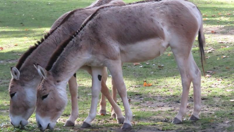 In den letzten 200 Jahren schrumpfte sein Verbreitungsgebiet unter anderem in Kasachstan dramatisch und umfasst heute weniger als drei Prozent der ursprünglichen Größe. Daher steht der Kulan als stark gefährdetauf der Roten Liste. Im Mai 2020 konnte sich der Tiergarten Nürnberg aber über zweifachen Nachwuchs in der Gruppe der Kulane freuen.