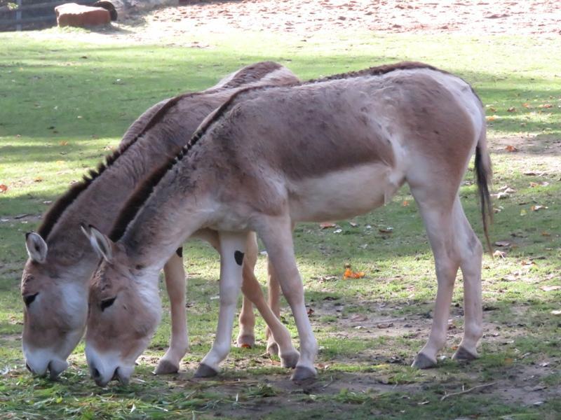 Nein, das ist kein Glitch im echten Leben - das sind einfach nur zwei Asiatische Esel, auch Kulan genannt, beim Grasen.