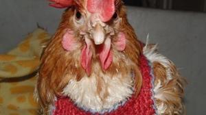 Glückliche Hühner: Auf die Haltung kommt es an
