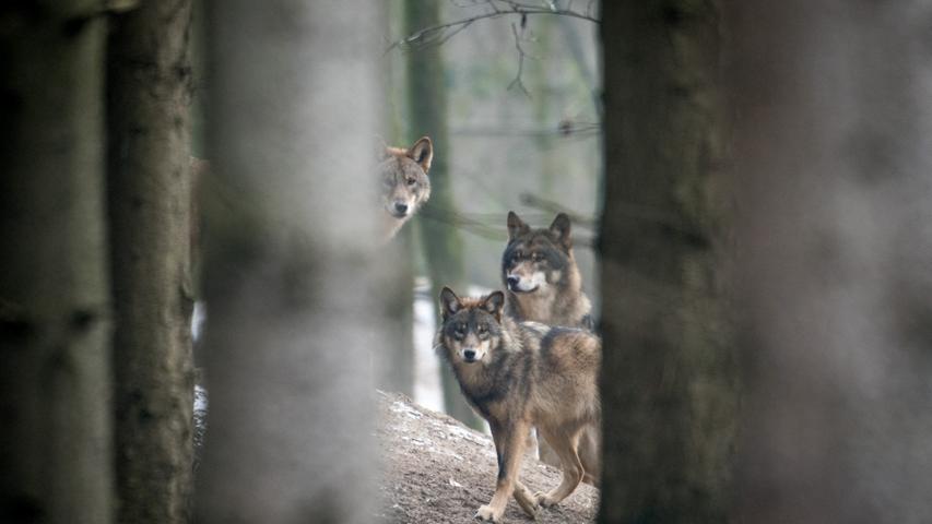 Seit 2006 können in Bayern Wölfe nachgewiesen werden. Laut dem Bayerischen Landesamt für Umwelt (LfU) gibt es nun acht feste Wolfsterritorien im Freistaat.Auch in Franken tauchenvermehrt Wölfe auf.Erst im Dezember 2020 und im Januar 2021 wurde im Nürnberger Land ein Wolf gesichtet.Laut LfU sind das zumeist durchwandernde Tiere, die ihre elterlichen Rudel verlassen haben und auf der Suche nach einem eigenen Gebiet sind.