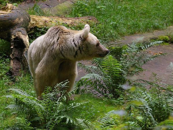 Die Syrische Braunbärin Mammi hat im Tiergarten mit 39 Jahren ein hohes Alter erreicht. Sie wurde 2014 eingeschläfert. Die Obduktion ergab eine altersbedingte Herzschwäche, die zu einem Lungenödem führte.