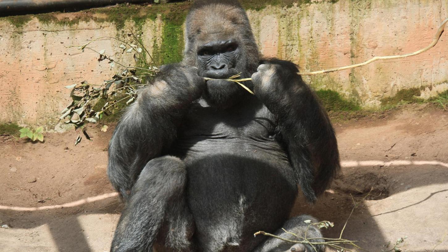 Ist zwar nicht in einem Zoo geboren, hat aber fast sein ganzes Leben dort verbracht: Fast 54 Jahre hat Gorilla Fritz schon auf dem Buckel, seit 1970 lebt er im Tiergarten.