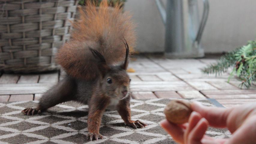 Z wie zahm: Eichhörnchen Fritzi schaut fast täglich bei Familie Rechtern am Albrecht Dürer-Haus vorbei und holt sich auf dem Balkon eine Nuss ab. Auch auf dem Nürnberger Westfriedhof gibt es Eichhörnchen, die sich aus der Hand füttern lassen. Bei Tiger, Löwe und Co. im Tiergarten sollten auf solche Fütterungs-Experimente aber besser verzichtet werden.