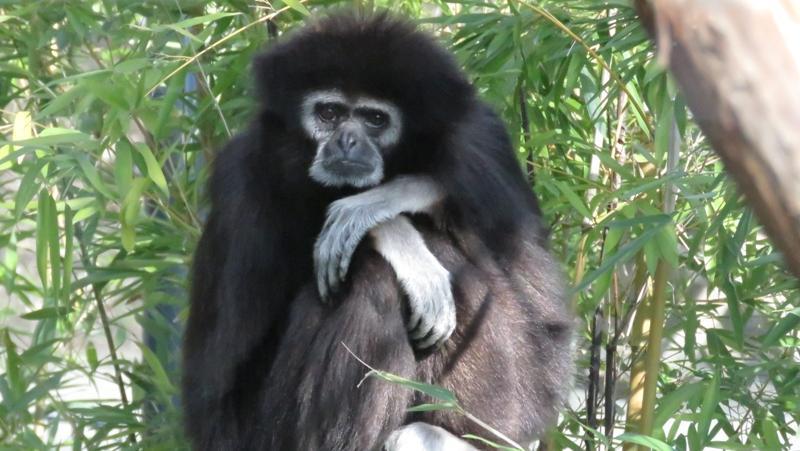 Auch der Weißhandgibbon gilt als stark gefährdet.Er ist wie alle Gibbonarten in allen Ländern seines Verbreitungsgebietes geschützt,doch in den meisten Ländern sind diese Schutzgebiete nicht gut überwacht, auch wenn sie für den Tourismus unterhalten werden.Unzureichende Verwaltung und unzulänglicher Schutz, nicht etwa Waldzerstörung, sind die wichtigsten, langfristigen Bedrohungen. Im Tiergarten Nürnberg lebt eine Mutter-Tochter-WG von Weißhandgibbons. Gibbon-Dame Mädi teilt sich das Gehege mit zwei ihrer Töchter.