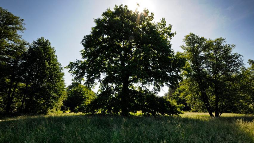 Um stabilere Wälder zu bekommen, die Trockenheit und Schädlingen besser trotzen können, sollen deutlich mehr Laubbäume als bisher in bayerischen Forsten wachsen. Dafür muss man allerdings auch in Kauf nehmen, dass diese weniger Kohlenstoff speichern als Nadelbäume. Laut LWF speichern Buchen innerhalb von 180 Jahren 443 Tonnen Kohlenstoff pro Hektar, bei der Eiche sind es 351 Tonnen.