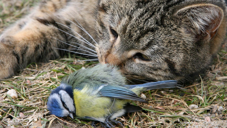 Eine Katze hat eine Meise gefangen - kein Einzelfall in deutschen Gärten.