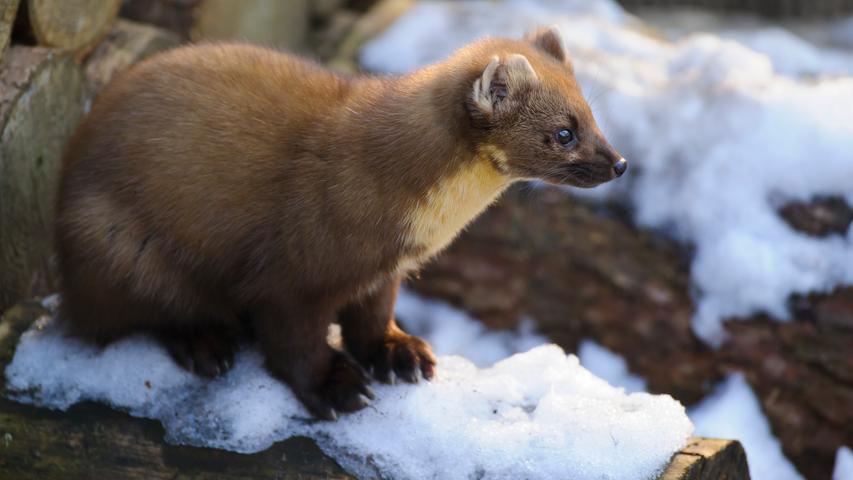 Der Baummarder wurde früher wegen seines wertvollen Pelzes stark bejagt und ist deshalb sehr viel seltener als der Steinmarder, der für seine Vorliebe für Autokabel bekannt ist. Der Baummarder kann sehr gut klettern und im Geäst drei bis vier Meter überspringen. Er ist Allesfresser und verspeist auch Eichhörnchen oder Mäuse. In Bayern wurden im Jagdjahr 2019/2020insgesamt 2267Exemplare erlegt (Vorjahr: 1855).