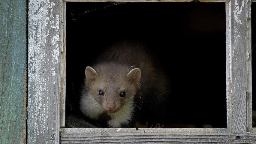 Der Steinmarder ist der erklärte Feind des Autofahrers, weil er durch seine Vorliebe für Gummiteile viele Autos lahmlegt. Er fühlt sich nicht nur in der Natur, sondern auch auf Dachböden und in Scheunen wohl. Er erlegt Hasen und Kaninchen, aber auch Hühner und Tauben. Sein Pelz ist begehrt, am effektivsten wird der Steinmarder mit Fallen bejagt. Im Jagdjahr 2019/2020erwischten bayerische Jäger 12.335Tiere (Vorjahr: 11.607).