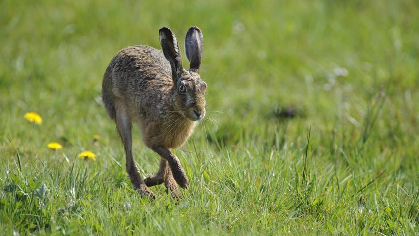 Meister Lampe kennt man durch seine großen Ohren (Löffel), sein weiches Fell und seine großen Augen. Durch sein braunes Fell ist er bestens getarnt in der Landschaft. Bei Gefahr nimmt er im Zickzack Reißaus, dabei kann er bis auf Tempo 80 beschleunigen. In vielen Regionen wird freiwillig auf die Hasenjagd verzichtet. In Bayern wurden im Jagdjahr 2019/2020insgesamt 58.618 Feldhasen getötet (Vorjahr: 54.129).