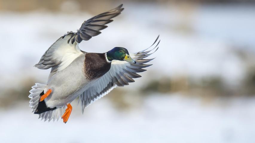 Wer Wildenten sagt, meint hierzulande meist Stockenten. Sie sind die mit Abstand häufigsten Enten. Naturschützer kritisieren, dass der Entenjagd häufig auch andere, seltenere Wasservögel zum Opfer fallen. In Bayern wurden im Jagdjahr 2019/2020insgesamt 74.419 Wildenten geschossen (Vorjahr: 65.571).