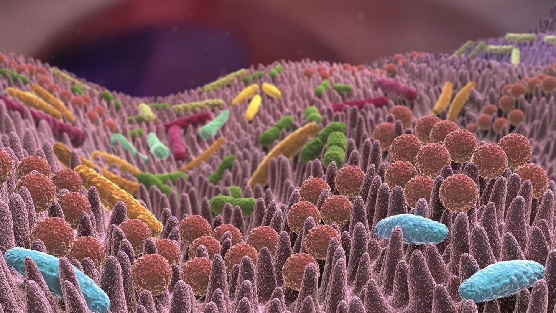 Der menschliche Darm ist von unzähligen kleinen Ausstülpungen übersät und wird von diversen Bakterien und anderen Mikroorganismen besiedelt.