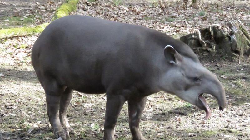 Die Abstammungslinie der Tapire reicht 55 Millionen Jahre zurück. Ihr heutiges Aussehen unterscheidet sich kaum von dem ihrer Vorfahren, weshalb Tapire auch als lebende Fossilien bezeichnet werden. Heute zählen sie zu den gefährdeten Tierarten. Die Haltung im Tiergarten Nürnbergwird nur noch bis Ende August 2020 fortgeführt.