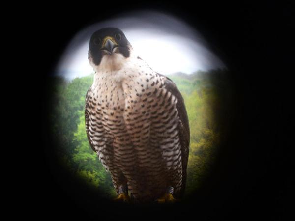 Der Muttervogel musste draußen unter lautem Protest abwarten, bis die beiden Männer die Jungen zurück in den Kasten setzten.