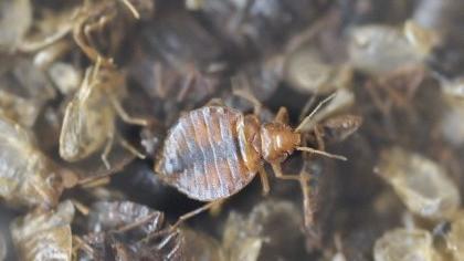 Bettwanzen werden bis zu fünf Millimeter groß, sind hauchdünn und ähneln im Aussehen den Zecken.