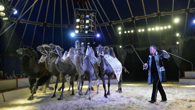 Fünf Kamele eröffnen die Show im Vier-Mast-Zelt, in das 1200 Menschen passen. Außer ihnen treten Pferde, Kühe, Esel und Hunde auf.