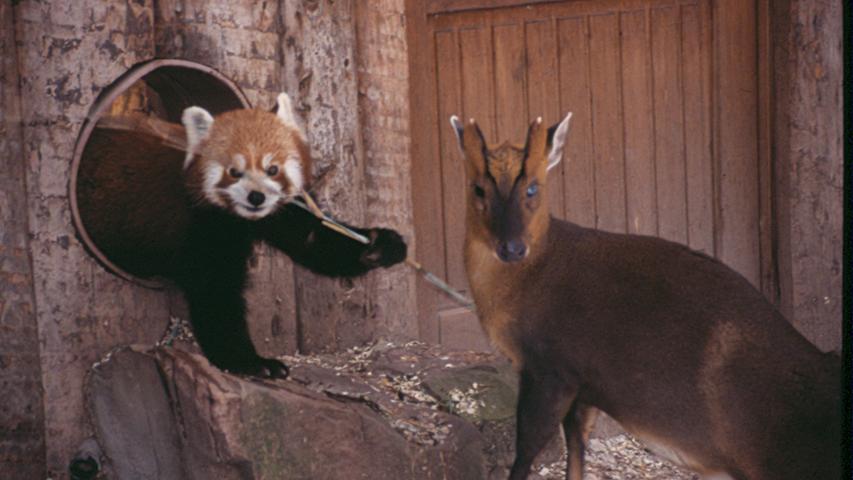 Am 18. Februar 2008 sind zwei Kleine Pandas im Tiergarten getötet worden. Einer der Pandabären lag im Freigehege, der andere im Stall. Die tödlichen Verletzungen wurden vermutlich durch einen spitzen Gegenstand hervorgerufen. Die Tiere hatten sich das Gehege mit drei Muntjaks geteilt. Eine Verletzung durch die Hirsche wurde ursprünglich ausgeschlossen, da die Muntjaks seit 1998 friedlich mit den Katzenbären zusammengelebt hätten. Die Kripo ermittelte, konnte menschliches Verschulden allerdings nicht nachweisen, weshalb davon auszugehen ist, dass die Verletzungen durch die Munjaks verursacht wurden.