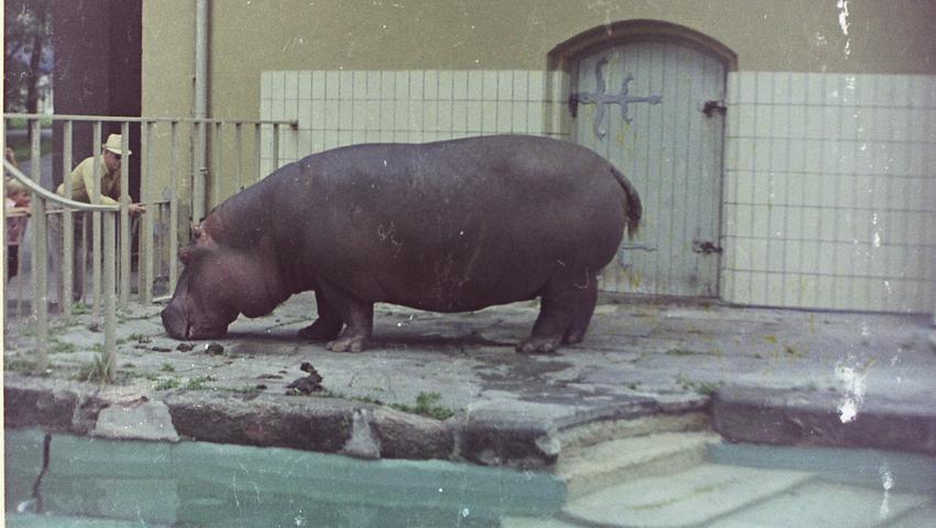Dieser Schnappschuss eines Flusspferds im Nürnberger Tiergarten ist Ende 60er Jahren entstanden. Das leere Wasserbecken ist seit kurzem wieder zu sehen, man hat es freigelegt.