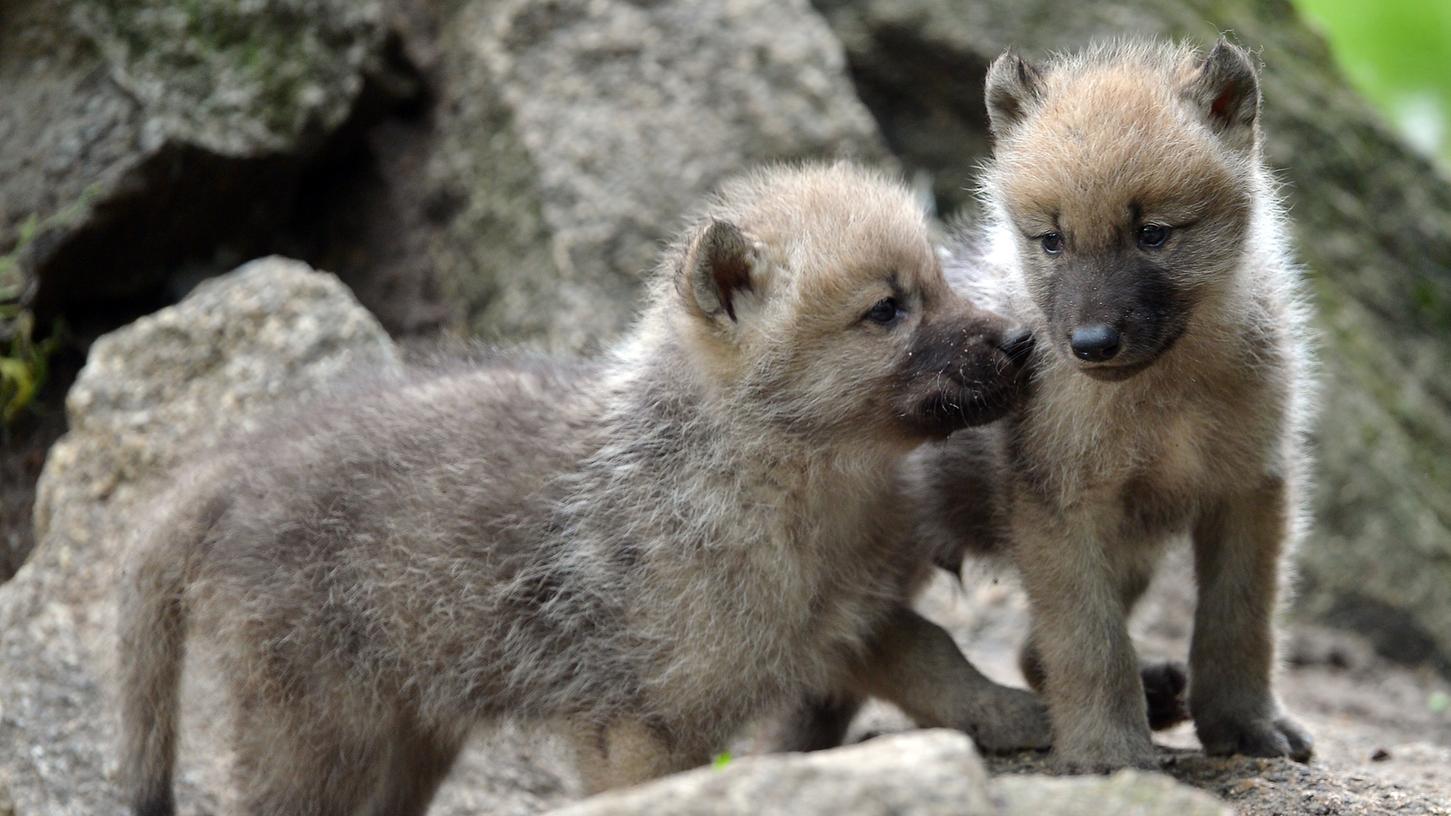 Durch Bayern streifen wieder Wolfsjunge - erstmals seit 150 Jahren. (Das Symbolbild zeigt Kanadische Wölfe im Berliner Zoo)