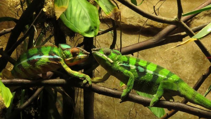 Sie verkleiden sich als Blätter, Baumstämme oder machen sich im Gestrüpp unsichtbar - aber was die zwei Pantherchamäleons am liebsten machen ist Händchen halten.