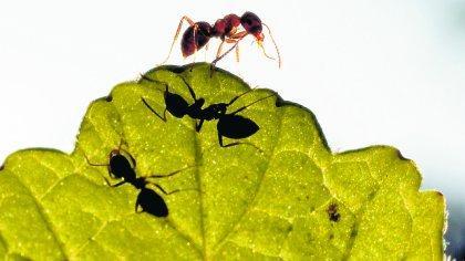 Bestimmte Ameisen können für Menschen gefährlich sein.
