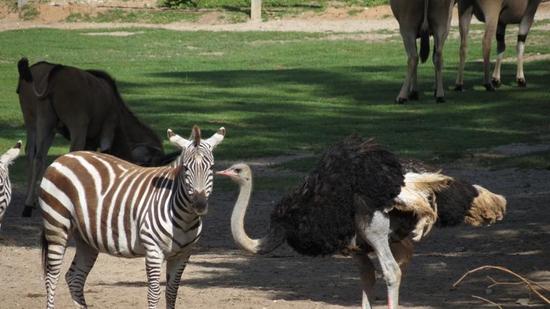 Eine außergewöhnliche Gemeinschaft bilden das Böhmzebra und der Blauhalsstrausshahn auf diesem Bild. Während das Zebra recht verdattert aus der Wäsche guckt, scheint der Strauß leicht ungehalten zu sein. Ob diese Beziehung noch lange hält...?