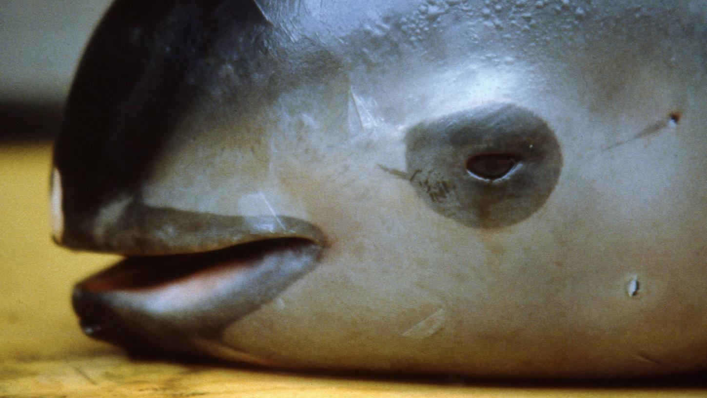 Der Bestand des kleinsten Schweinswals der Welt, dem Vaquita, ist laut Zählungen des Naturschutzverbands WWF innerhalb eines Jahres um die Hälfte eingebrochen. Inzwischen gibt es nur noch 30 Erwachsene Tiere.