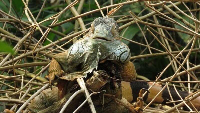 Der Grüne Leguan entspannt in seiner Hängematte: Die Konstruktion aus Rundhölzern bietet ihm in seinem Terrarium genug Platz zum Abhängen und Klettern.