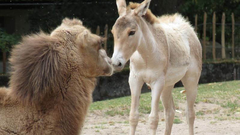 Ob das hier der Beginn einer neuen tierischen Freundschaft ist? Das junge Trampeltier und der kleine Kulan scheinen sich auf jeden Fall ganz gut zu verstehen.